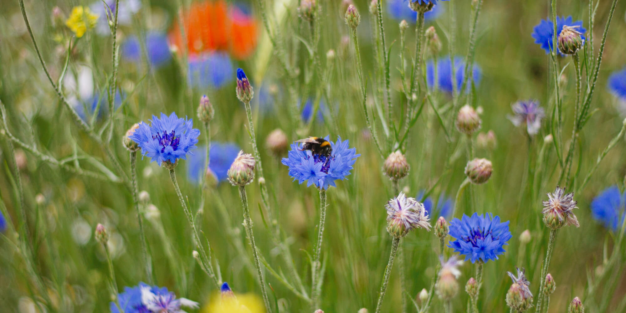 Guerrilla gardening: a wildflower buffet for the bees